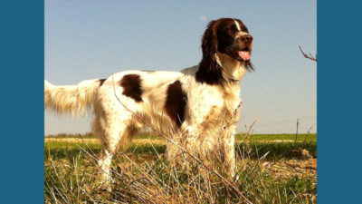 Sussex Spaniel 9
