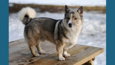 Swedish Vallhund 1