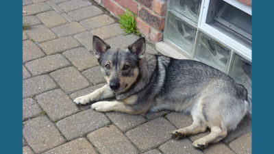 Swedish Vallhund 11