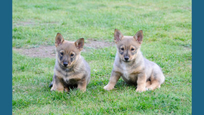 Swedish Vallhund 12