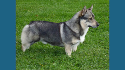 Swedish Vallhund 13
