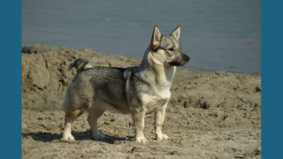 Swedish Vallhund 15