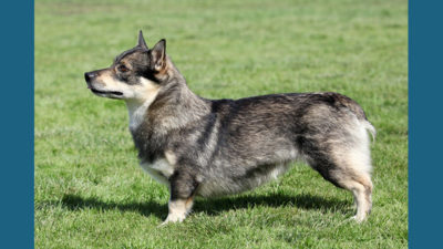 Swedish Vallhund 3