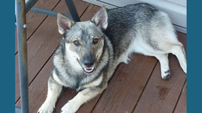 Swedish Vallhund 4
