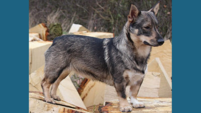 Swedish Vallhund 5