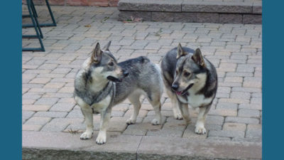 Swedish Vallhund 8