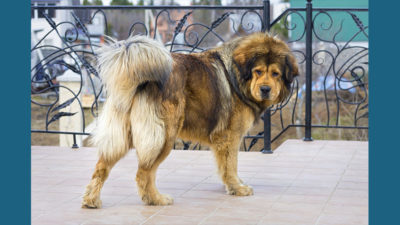 Tibetan Mastiff 1