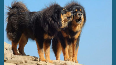 Tibetan Mastiff 10