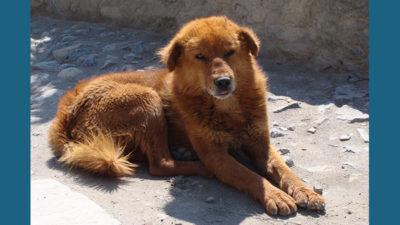 Tibetan Mastiff 11