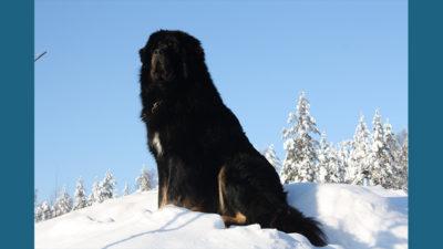 Tibetan Mastiff 12