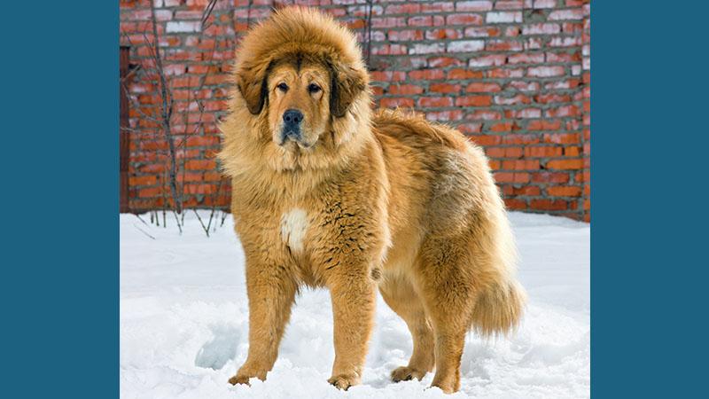 Tibetan Mastiff 13