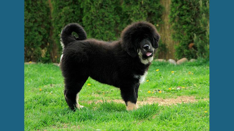 Tibetan Mastiff 14