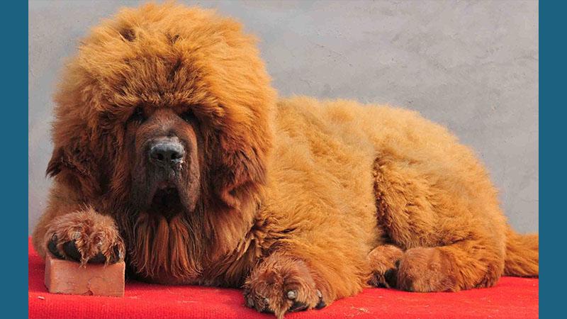 Tibetan Mastiff 15