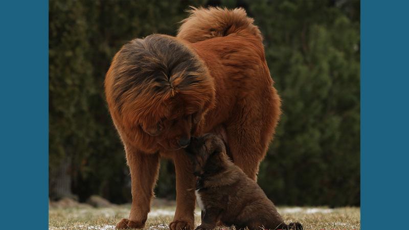 Tibetan Mastiff 16