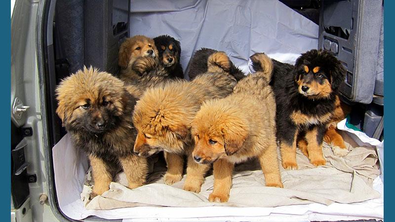 Tibetan Mastiff 17