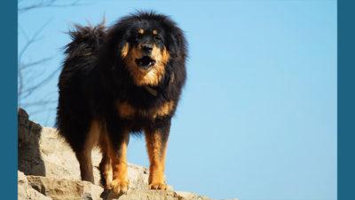 Tibetan Mastiff 2