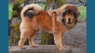 Tibetan Mastiff 3