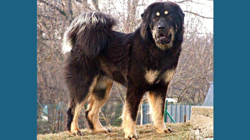 Tibetan Mastiff 5
