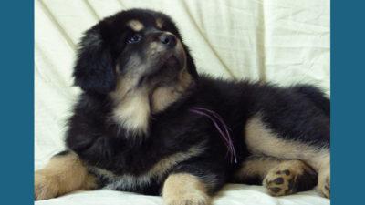 Tibetan Mastiff 6