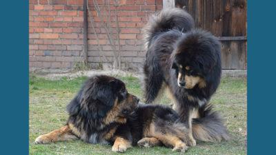 Tibetan Mastiff 7