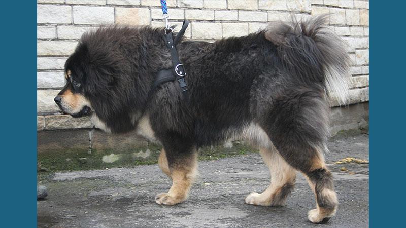 Tibetan Mastiff 8