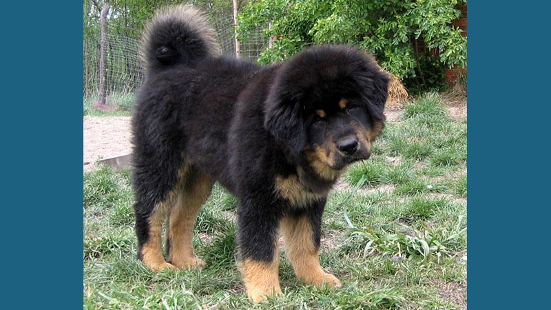 Tibetan Mastiff 9