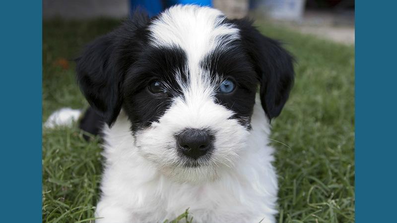Tibetan Terrier 10