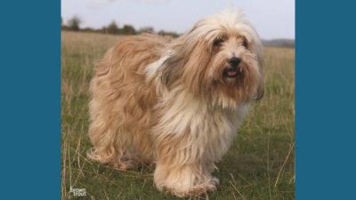 Tibetan Terrier 11