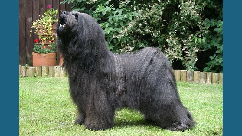 Tibetan Terrier 12