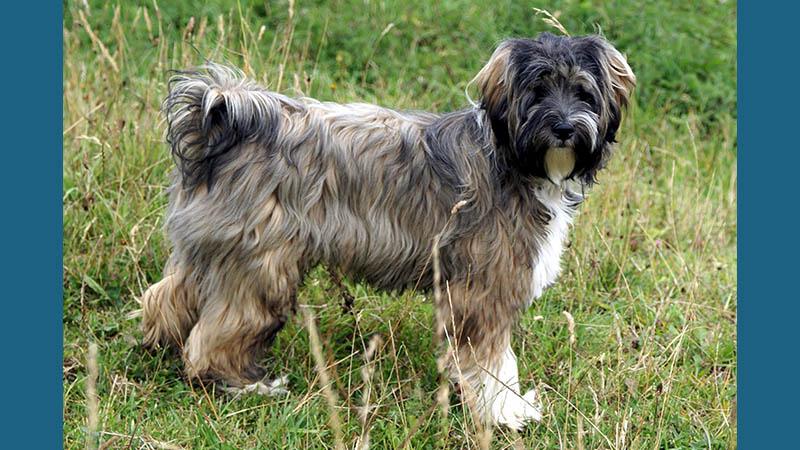 Tibetan Terrier 2