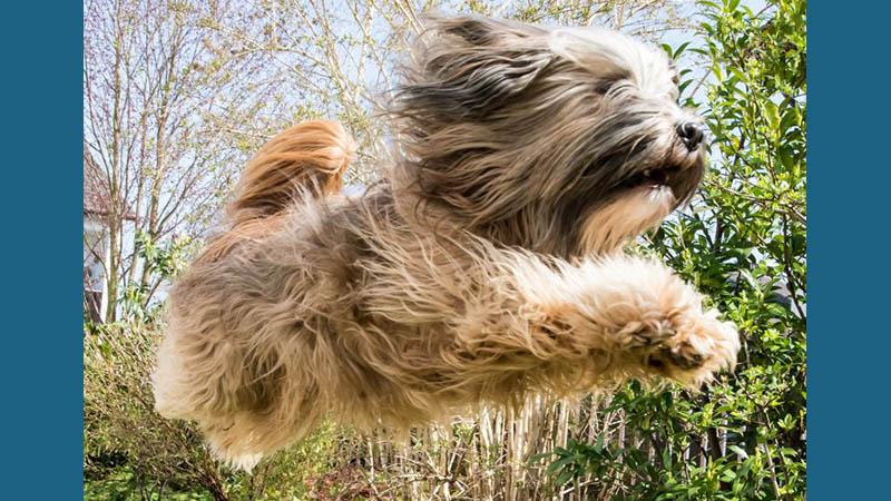 Tibetan Terrier 4