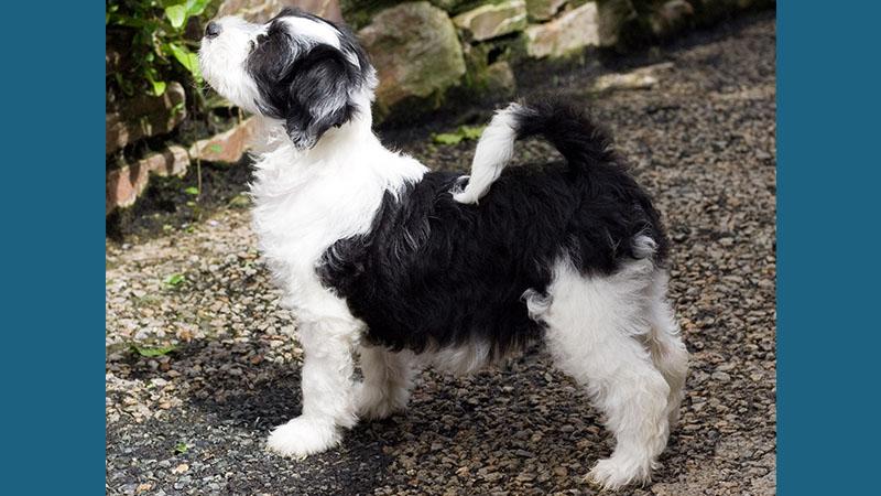Tibetan Terrier 8