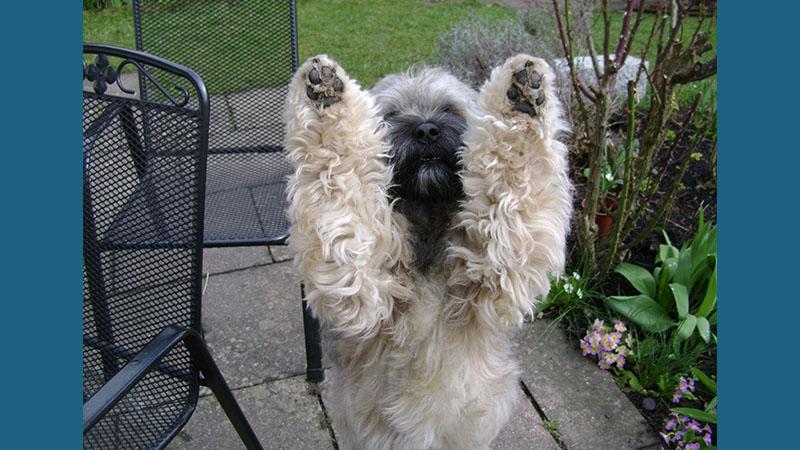 Tibetan Terrier 9