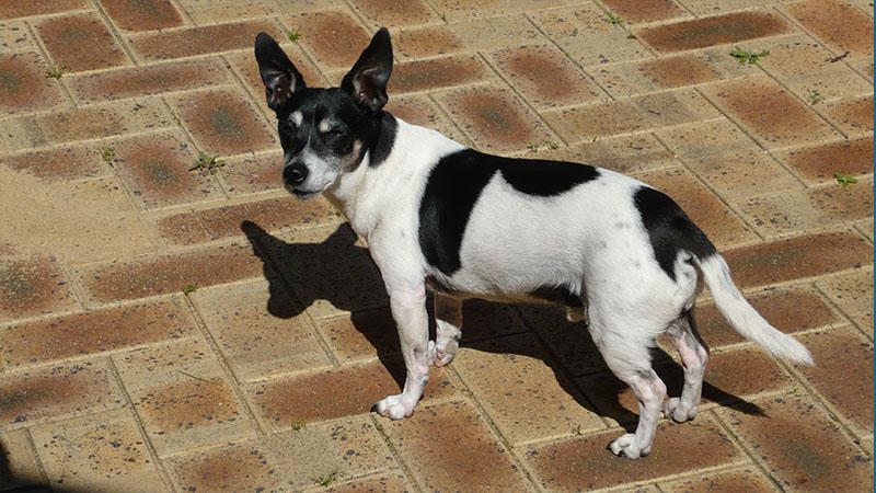 Toy Fox Terrier 1