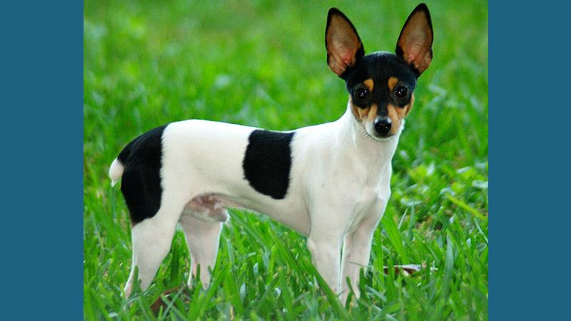 Toy Fox Terrier 4
