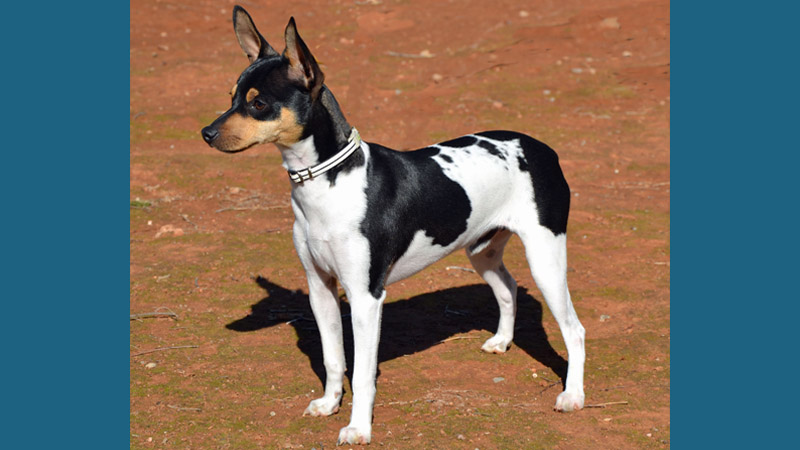 Toy Fox Terrier 6