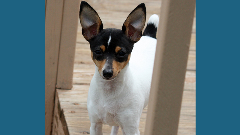 Toy Fox Terrier 8