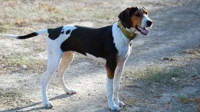 Treeing Walker Coonhound 1