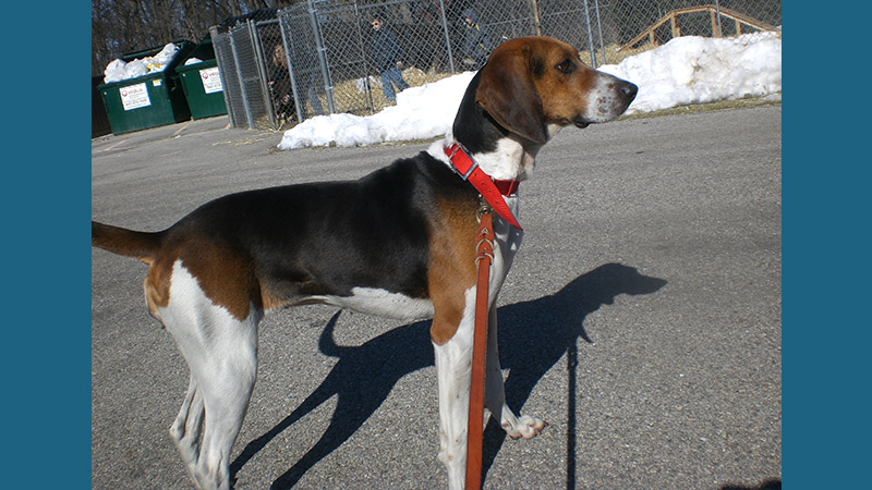 Treeing Walker Coonhound 2