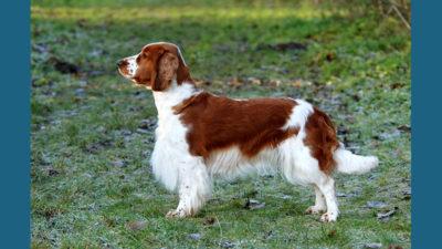 Welsh Springer Spaniel 1