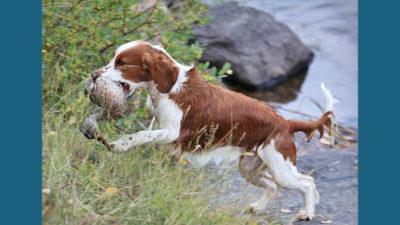 Welsh Springer Spaniel 11