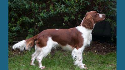 Welsh Springer Spaniel 12