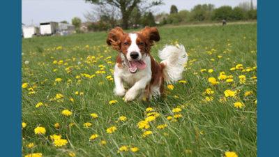 Welsh Springer Spaniel 13