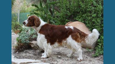 Welsh Springer Spaniel 4