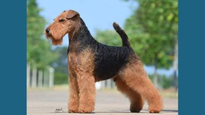 Welsh Terrier 10