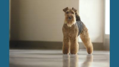 Welsh Terrier 11