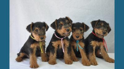 Welsh Terrier 12