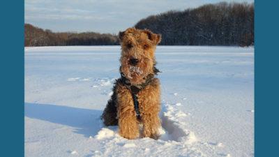 Welsh Terrier 13