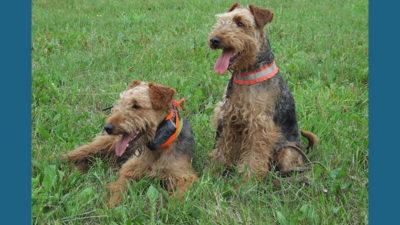 Welsh Terrier 14