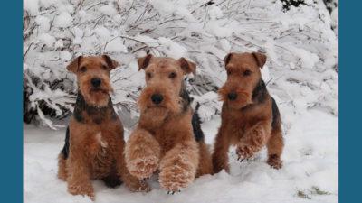 Welsh Terrier 2
